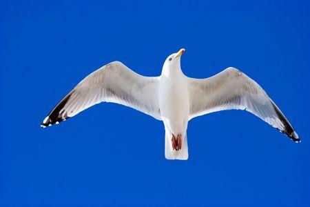 Herring Gull soaring against deep blue sky
