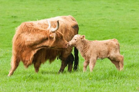 Highland Cow kissing calf in green field photo