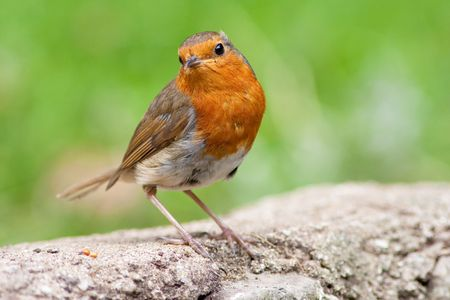 Robin perched on wall with green grass blurred backround