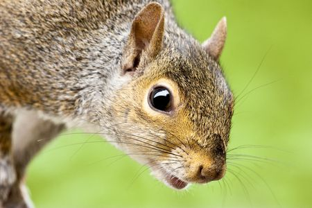 Close up of Grey Squirrel head and shoulders with green backround