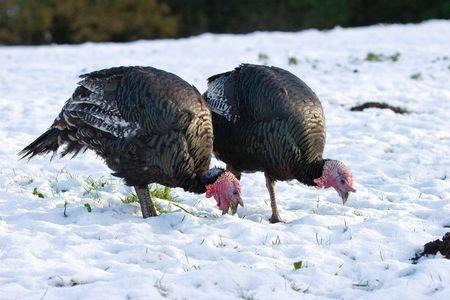 Bronze Turkeys feeding in snowy field