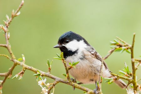 Coal Tit perched on branch with long thorns and green shoots Stock Photo