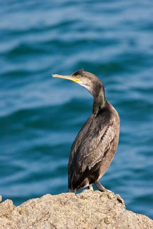 Cormorant on rock with blue ocean in backround Stock Photo