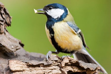 Great Tit on textured log with food in bill Stock Photo