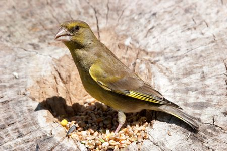 Greenfinch perched on log with seed around feet Stock Photo