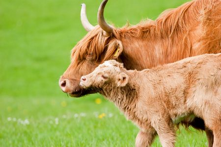 Highland Cow with calf in green field