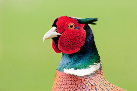 Close up of male Pheasant vibrant colours against green backround