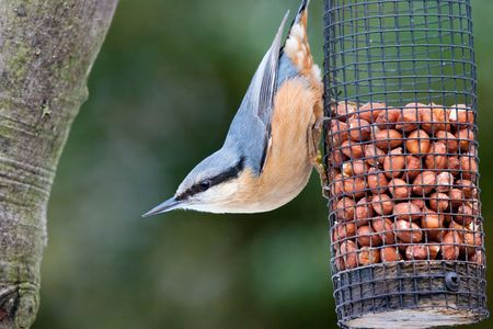 Nuthatch on feeder with vibrant colours