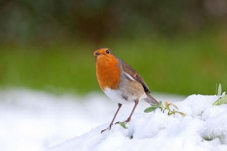 Robin perched in snow with green grass blurred backround and green leaves Stock Photo