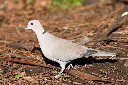 Collared Dove walking on pine needles