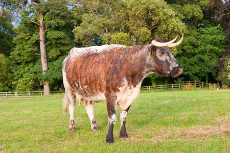 Cow with long horns with trees in backround Stock Photo