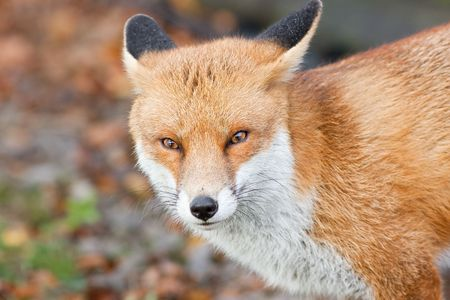 Close up of Red Fox head and shoulders Stock Photo
