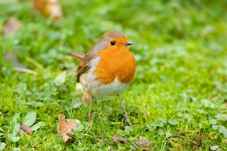 Robin on vibrant green grass with autumn leaves