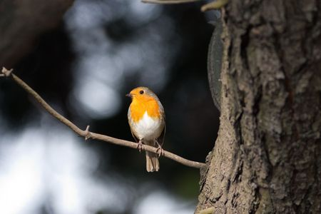 perched: Robin perched on twig with pine tree and monochrome backround