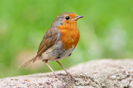 Robin perched on wall with green backround