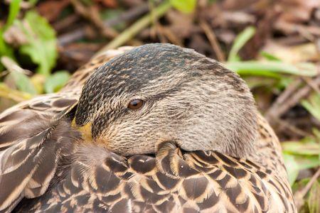 Female Mallard duck with beak nestled in feathers Stock Photo