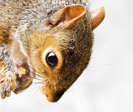 Close up of Grey Squirrel with food held in paws and isolated background Stock Photo