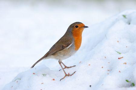 Robin perching on snowy mound