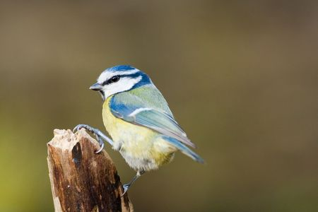 Side view of vibrant Blue Tit