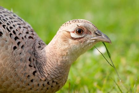Hen Pheasant close up with blade of grass in bill
