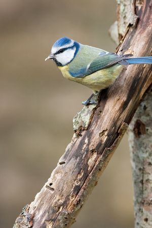 Blue Tit perched on rotten branch with food in bill