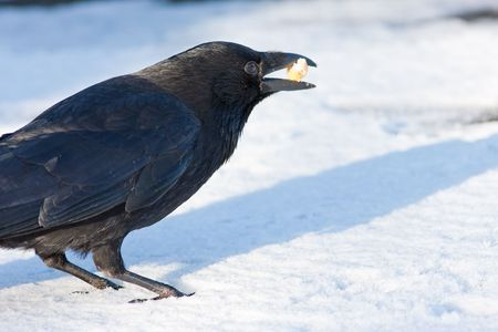 Carrion Crow in bright snow with food in bill. Side view