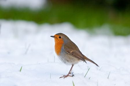Robin standing in snow with grass in background and blades poking through photo