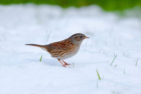 Dunnock/Hedge Sparrow standing in snow with grass in background and blades poking through