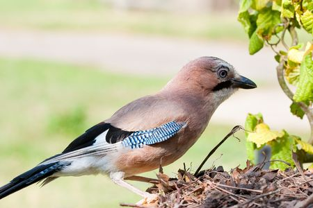 European Jay perched on leaves