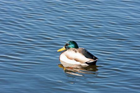 Mallard drake on lake with vibrant colours
