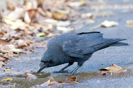 Carrion Crow drinking from small puddle with autumn leaves