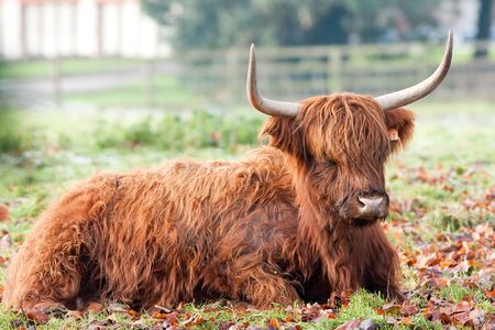 Highland Cow Steaming Breath on Frosty Morning