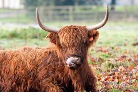 Highland Cow Licking Nose Close up with Autumn Leaves