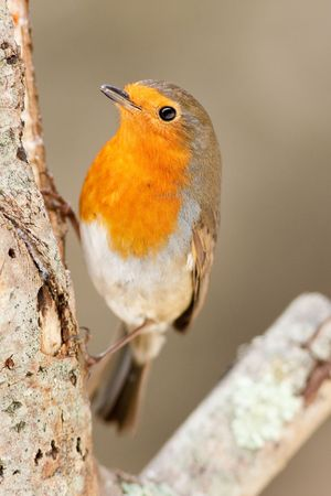 Robin on Branch Looking Directly at You