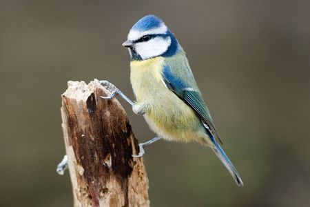 Blue Tit Perched on Broken Branch