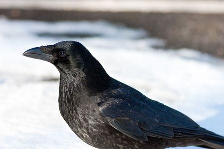 Carrion Crow profile in Snow