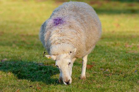 Ewe Grazing with Purple mark on Back