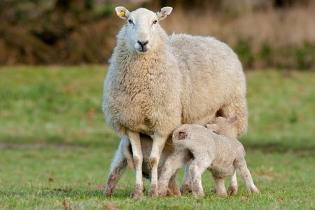 Two Young Lambs Feeding from Mother Ewe