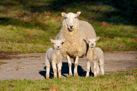 ewe: Watchful Mother Ewe with Two Lambs