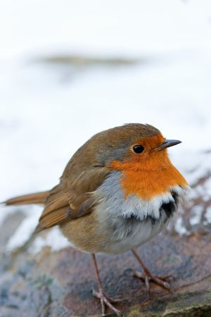 Winter Robin Puffed up Feathers in Snow Stock Photo