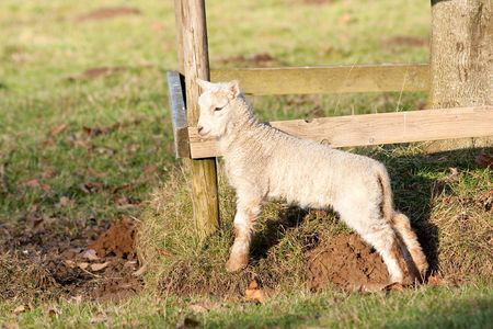 Young Lamb Stretching by Sunlit Fence