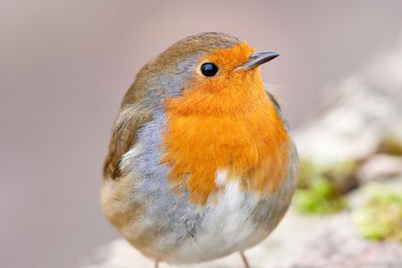 Watchful Robin close up