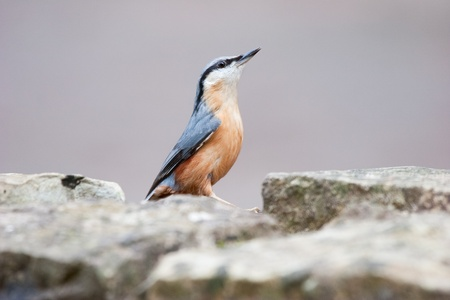 Nuthatch on wall Looking to the Sky