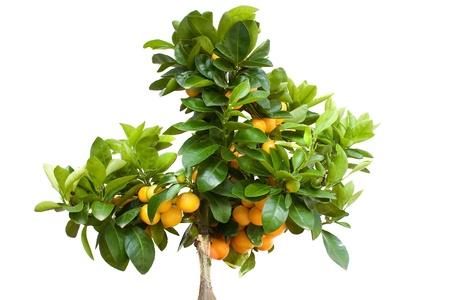 Orange Tree with Fruit Isolated on White Backround Stock Photo