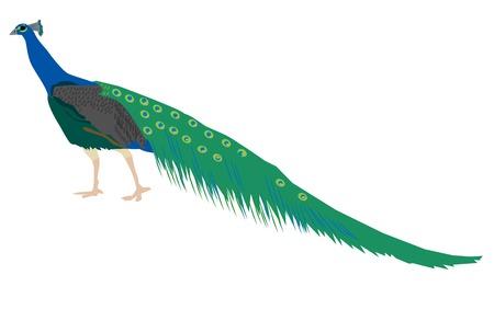 peacock Ilustrace