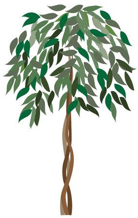 rubber plant: ficus tree Illustration