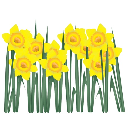 springtime: daffodils