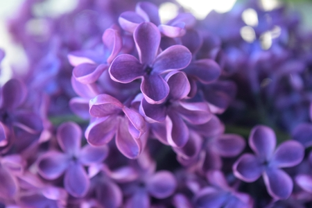 wisteria: micro image of lilac flowers