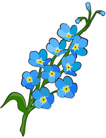 Forget me not flowers vector illustration.
