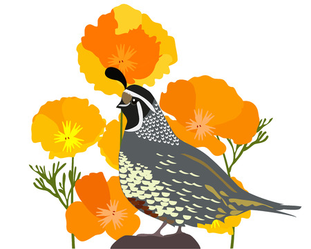 California state quail and poppies. Illustration